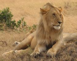 Fotos: Leões e Elefantes em Maasai Mara, Quênia